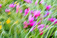 Cyclamen and Buttercups in motion