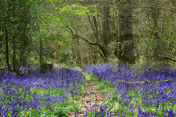 Bluebell Wood path